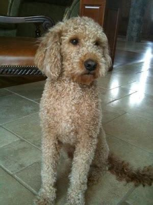 goldendoodle puppy for sale michigan goldendoodle puppies for sale in michigan