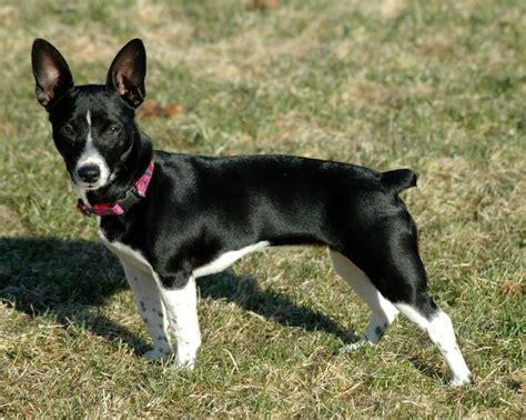 teddy roosevelt terrier puppies for sale rat terrier dogs memes