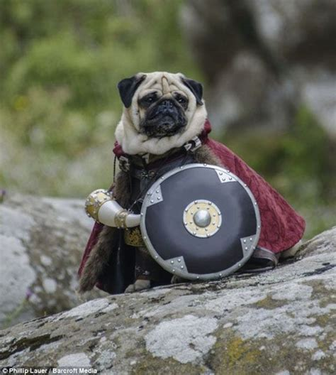 pug dressed up 25 best ideas about pugs dressed up on