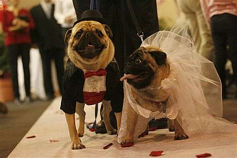 pug marriage weddings two pugs tie the knot in a pet store complete with marriage certificate
