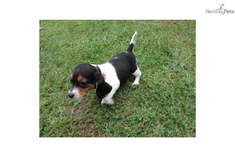 miniature beagle puppies for sale beagle puppies pet world breeds picture
