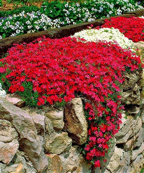 Gardenlovers Moss Phlox Phlox Subulata Is A Richly Rock Garden Plants Uk