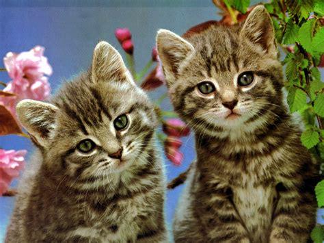 imagenes wallpapers gatos los mejores fondos de pantalla gatos traviesos fondos