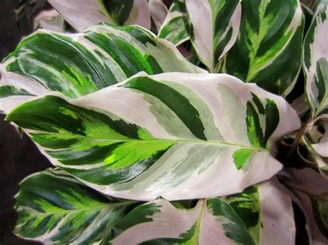 Tanaman Calathea White Fushion Berkualitas 14 best calathea images on calathea plant gardening and indoor plants