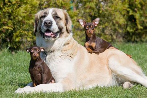 dogs age big breeds picture pets world