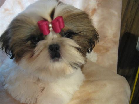 shih tzu bows shih tzu with a bow photo and wallpaper beautiful shih tzu with a bow