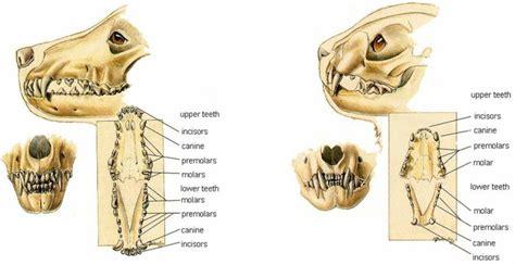 cat teeth diagram dentistry 705 384 0400