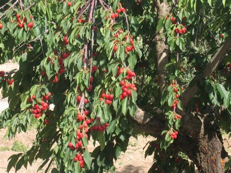 k cherry tree fruit nut and ornamental trees 101 c is for cherry trees