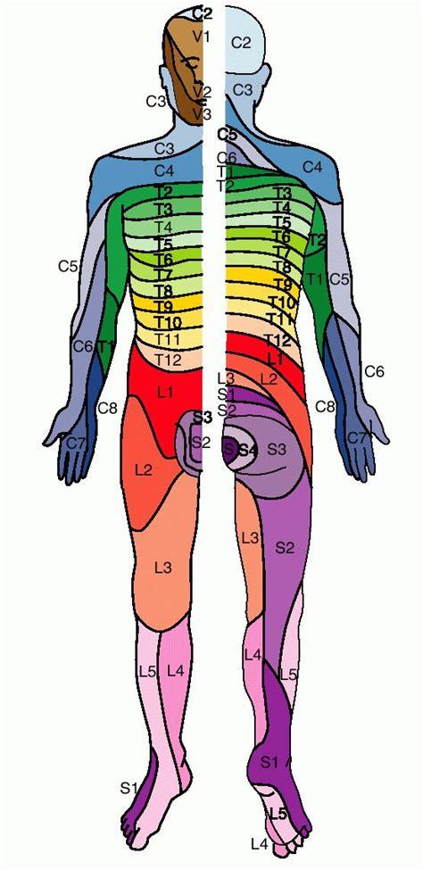 dermatomes map size picture dermatome jpg