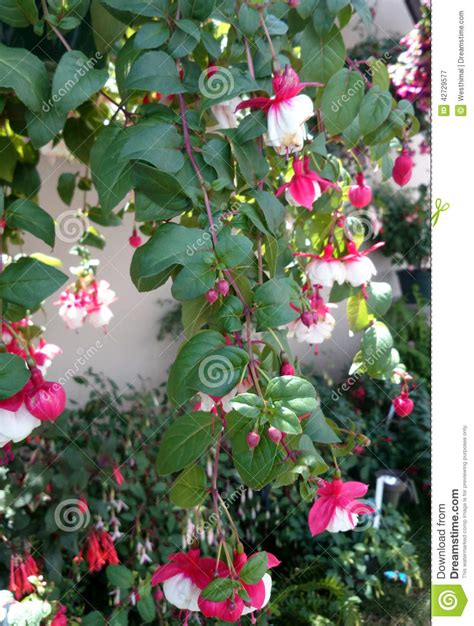 small shrubs with flowers fuchsia swingtime stock photo image 42729577