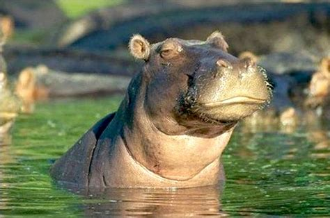 Skeptical Hippo Meme - image gallery skeptical animals