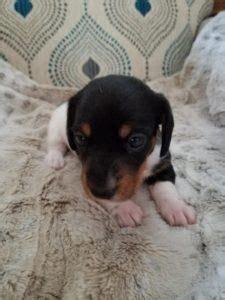 syracuse puppies for sale best 25 dachshund puppies for sale ideas on daschund puppies for sale