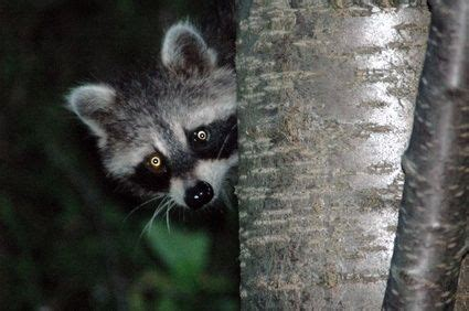 how to get rid of raccoons in my backyard how to get rid of raccoons from under a deck
