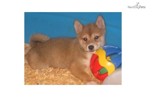 shiba inu puppies bay area shiba inu puppy for sale near ta bay area florida 2b0ac49d 9061