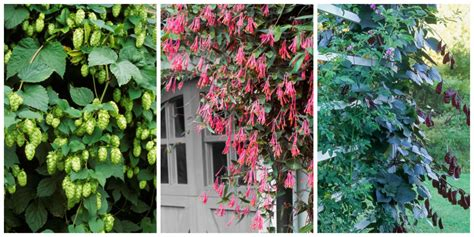 fast growing climbing plants for trellis 10 fast growing flowering vines best wall climbing vines