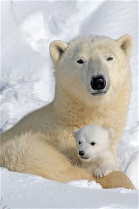 imagenes animales polares osos polares animales pinterest osos polares beb 233 s