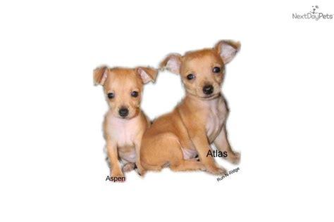 teddy roosevelt terrier puppies for sale rat terrier puppy for sale near texarkana arkansas 99975988 c661