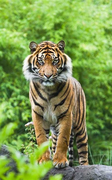 facts about the new year tiger tiger evolution tiger facts and information