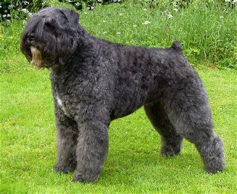 bouvier breed bouvier des flandres breed information history health pictures and more