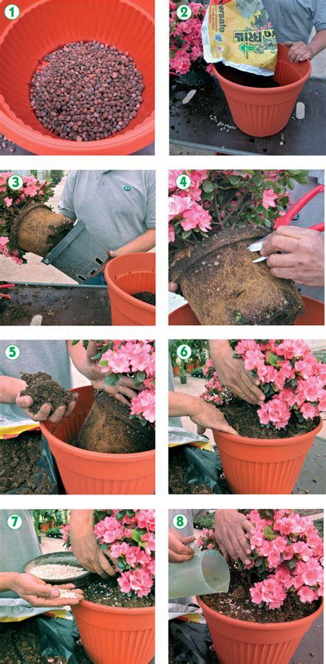 cura delle azalee in vaso azalee cure e coltivazione fai da te in giardino