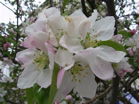 Bonjour Michel White Floral treklens apple flowers photo
