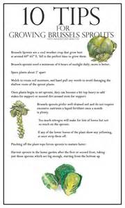 10 tips for growing brussels sprouts a healthy life for me