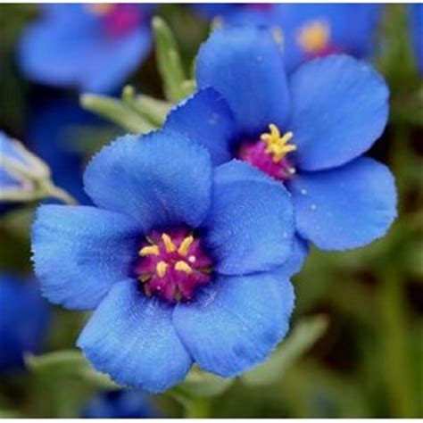 Use Borders Gift Card On Amazon - 50 anagallis linifolia flower seeds deep blue good for borders and edging in the uae