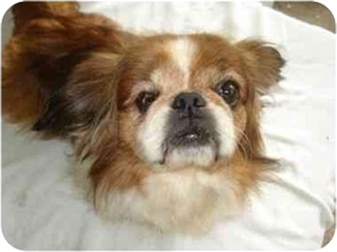 puppies for adoption jacksonville fl jacksonville fl pekingese meet jasper a for adoption