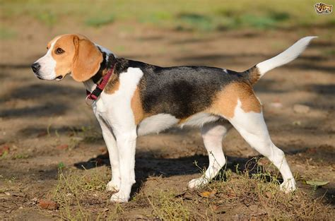 hound breeds an introduction to some popular scent hound breeds pets4homes