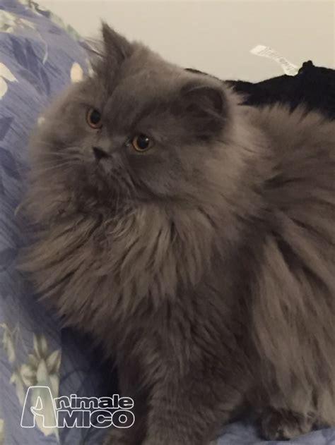accoppiamento gatti persiani accoppiamento persiano da privato a persiano