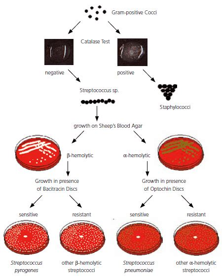 streptococcus flowchart streptococci overview of detection identification