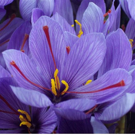 la flor del azafrn azafran