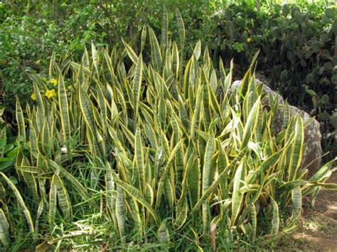 Vivaces Fleuries Tout L été by Langue De M 232 Re Sansevi 232 Re Sansevieria Planter