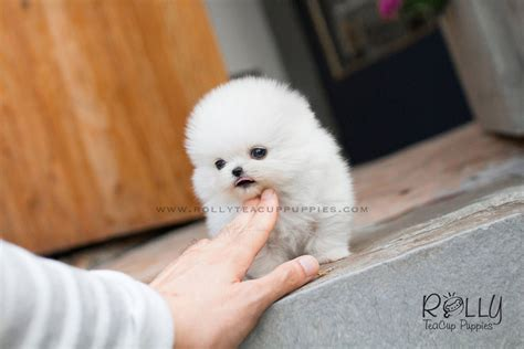 snow white pomeranian puppies sale snow white pomeranian rolly teacup puppies