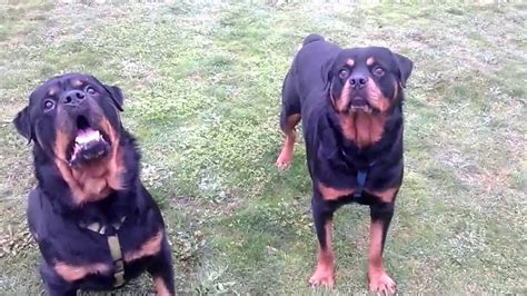 rottweiler performance uk rottweiler attacks owner during play time doovi