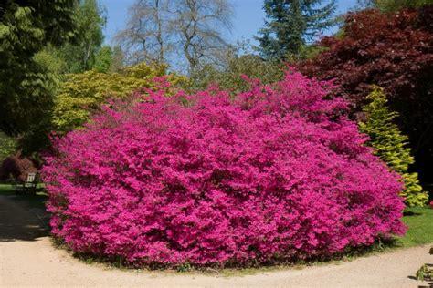 pink flower bush free stock photo public domain pictures