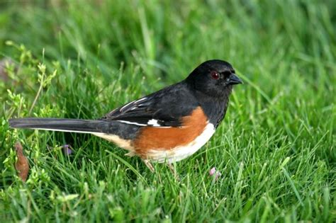 rufous sided towhee bird spotting life list pinterest