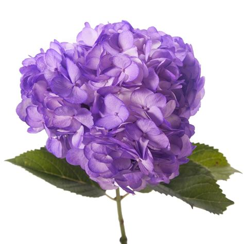 purple hydrangea petite hydrangea types of flowers flower muse
