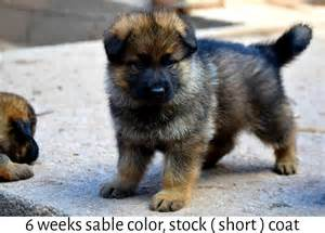 Sable german shepherd coat color dark brown hairs