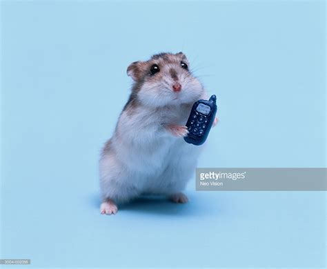 mobile hamster hamster holding cellphone stock photo getty images