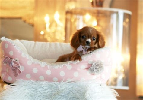 teacup cavalier king charles spaniel puppies for sale teacup cavalier king charles spaniel puppies for sale image 2741810 by miss dior on