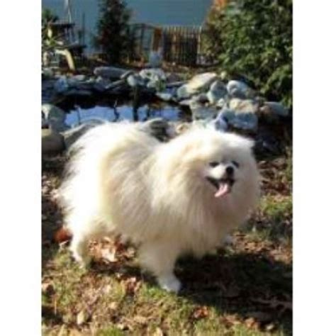 pomeranian rescue ma pomeranian breeders in massachusetts freedoglistings