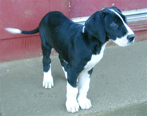 great dane puppies wisconsin file great dane puppy jpg wikimedia commons