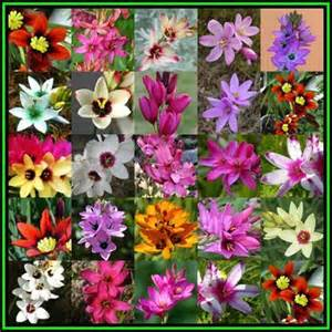 Flower bulbs roots amp corms 5 bulbs ixia mixed colours plant