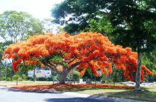 This tree is called a delonix regia or flame of the forest