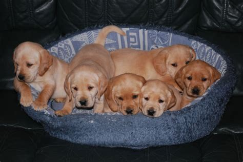 cocker spaniel mix puppies for sale gorgeous labrador cocker spaniel puppies for sale woodbridge suffolk pets4homes
