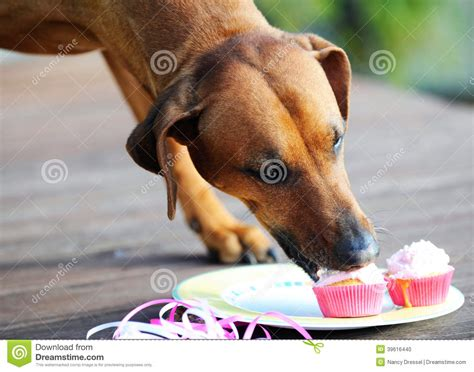 dog only eats from hand dog eating muffins stock photo image 39616440