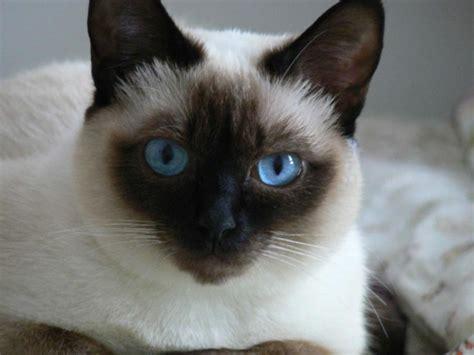 fotos de gatos gatos angora gemelos jpg pictures to pin on pinterest gatos siameses caracter 237 sticas qu 233 come d 243 nde vive