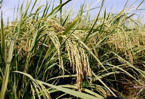 Benih Padi Hibrida Bernas 5kg jual benih padi inpari 43 berkualitas tinggi subscart