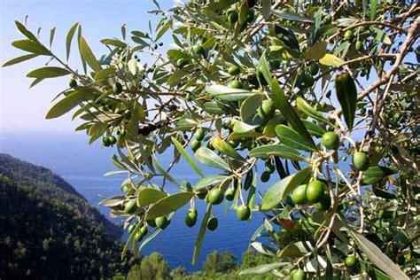 olivenbaum möbel ilfogolar buona domenica delle palme